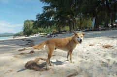 Street dog on the beach in Thailand Stock Photos
