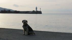 Street dog on beach in twilight stock video