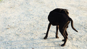 Street dog black color return to see something. Street dog male black color return his neck to see something in Thailand or homeless Dog stand up alone  on the Royalty Free Stock Images