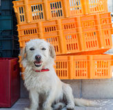 Street dog in Corfu Town Royalty Free Stock Photo