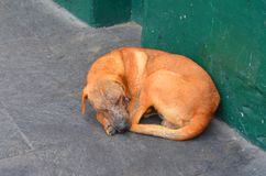 Street dog with disease in Perú. Lima. Stock Photo