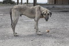A street dog feeding. A street dog eating something Stock Photography