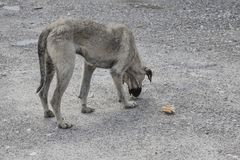 A street dog feeding. A street dog eating something Royalty Free Stock Photos