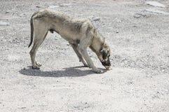 A street dog feeding. A street dog eating something Stock Image