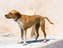 A street dog in Greece, Chania Royalty Free Stock Photography