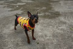 A street dog in Hanoi, Vietnam. A street dog in Hanoi, Vietnam Royalty Free Stock Photo