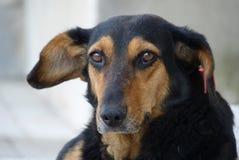 Street dog. Homeless street dog from Bulgaria Stock Photos