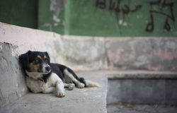 Street Dog Kas, Turkey. A street dog reclines in a derelict building in the resort of Kas, Turkey Stock Photos