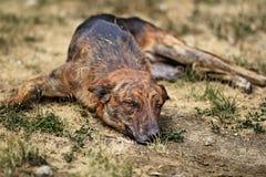 Street dog laying Royalty Free Stock Photo
