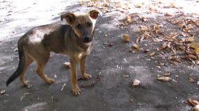 Street dog. Lonely street dog of maloyan colour in fall season Stock Photos