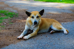 Street dog. Lying on the road Royalty Free Stock Photo