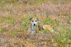 Street Dog at Outdoor Royalty Free Stock Photo