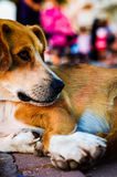 Street Dog Portrait. Detailed portrait and close up photography of a street dog resting on the setting sun while people wandering around him Stock Photo