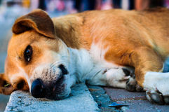 Street Dog Portrait. Detailed portrait and close up photography of a street dog resting on the setting sun while people wandering around him Royalty Free Stock Photos