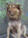 Street dog portrait Royalty Free Stock Photography