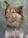 Street dog portrait Stock Images
