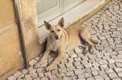 Street Dog in Portugal Stock Image