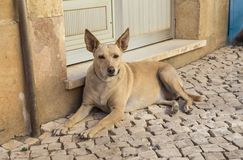 Street Dog in Portugal Royalty Free Stock Image