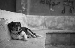 Street Dog Reclines. A street dog climbs a wall in a derelict building in the resort of Kas, Turkey Royalty Free Stock Photos