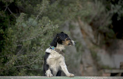 Street Dog Reclines. A street dog climbs a wall in a derelict building in the resort of Kas, Turkey Royalty Free Stock Image