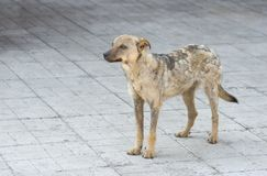 Street dog recovered from lichen. Standing on a pavement Stock Image
