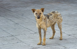 Street dog recovered from ringworm Stock Photos