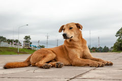 Street dog Royalty Free Stock Photography