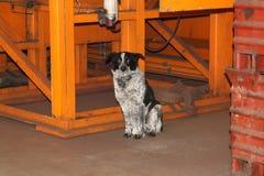 Street dog Royalty Free Stock Photos