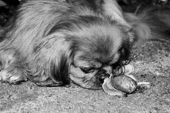 The street dog sniffs snail . Black and white photo. Royalty Free Stock Photo