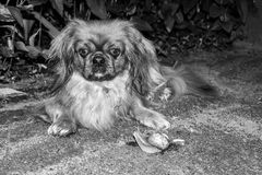 The street dog sniffs snail . Black and white photo. Royalty Free Stock Photography