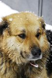 Street dog snow look Royalty Free Stock Photos