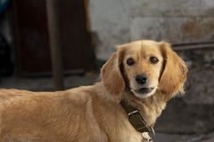 Street dog spaniel with a collar on a concrete gray wall background. Golden dog coloring