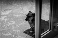 Street Dog In Storefront. Portrait photography of a street dog standing next to the front door of a store Royalty Free Stock Image