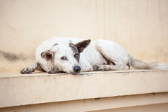 Street dog Stock Photography