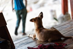 Street dog in Thailand Royalty Free Stock Photos