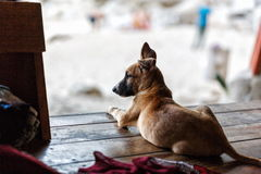 Street dog in Thailand Stock Photography