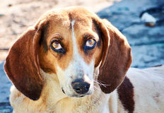 Street dog  thrown dachshund sad old white brown Stock Photography