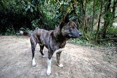 Street Dog Tiger Brindle Royalty Free Stock Photo