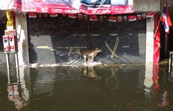 A street dog tries to keep dry in a flooded street in Rangsit, Thailand, in October 2011.  Royalty Free Stock Photo