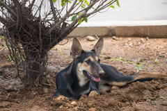 Street dog. A street dog trying to cool off under a wet tree in a very hot summer day Stock Photo