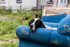 Very Sad Street Dog On A Couch Thrown To Trash. A street dog with very sad expression on his face lying down on top of a couch thrown away into the trash. Photo Royalty Free Stock Photography