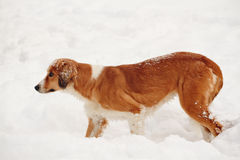 Street dog walking and hounding in the snow Royalty Free Stock Images