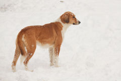 Street dog walking and hounding in the snow Royalty Free Stock Photography
