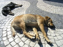 Street dogs. Two dogs sleeping on the pavement Stock Images