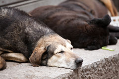 Street dogs. Closeup of snout of sleeping stray dog on a street pavement Royalty Free Stock Photos