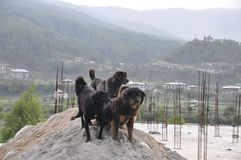 Street Dogs Bhutan Stock Photos