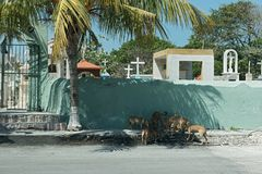 Street dogs in front of a cemetery wall in Progreso, Mexico.  Royalty Free Stock Image