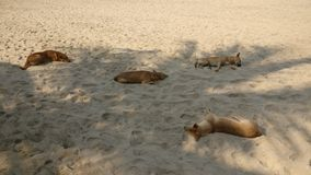 Street dogs sleeping in the shade at a beach Royalty Free Stock Image
