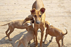 Street dogs Royalty Free Stock Photography