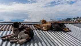 Street Dogs Having Rest on Rooftop in Darjeeling, India. Street dogs in Darjeeling, India, having rest on a rooftop stock image